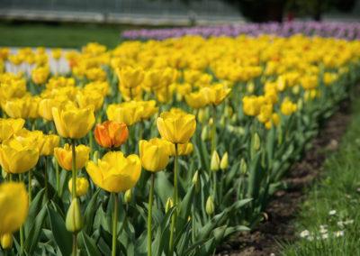 aiuola-tulipani
